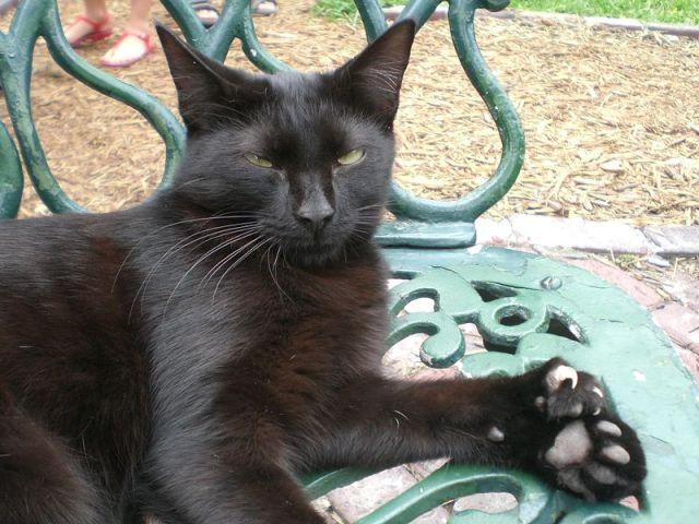 Salah satu dari polydactyl cat-nya Hemingway di rumahnya di Key West, Florida. Kucing hitam ini memiliki 26 jari.