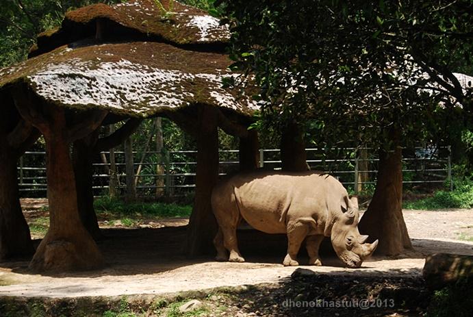 dhenok - taman safari - badak