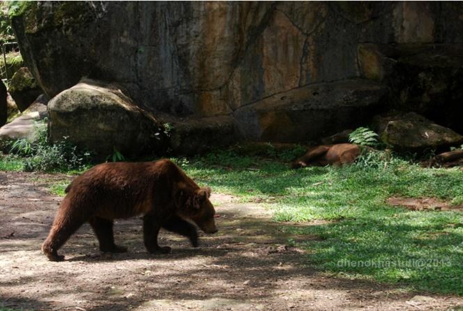 dhenok - taman safari - beruang madu