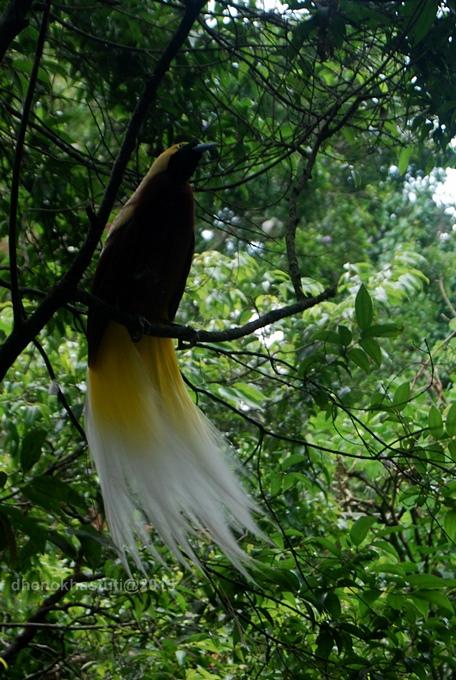 dhenok - taman safari - burung kasuari