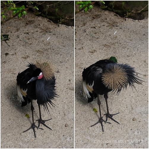 dhenok - taman safari - burung mahkota