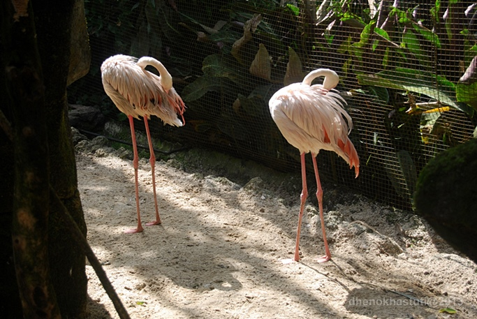 dhenok - taman safari - flaminggo