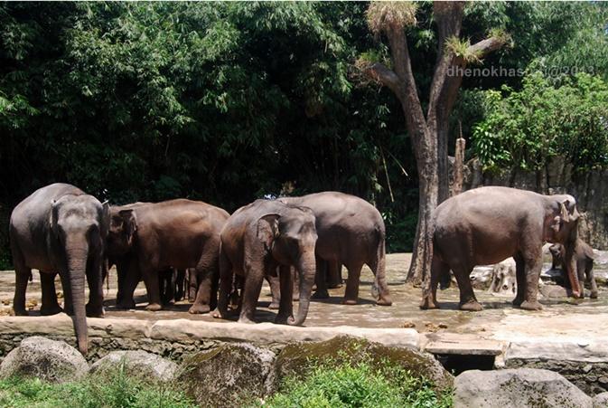 dhenok - taman safari - gajah