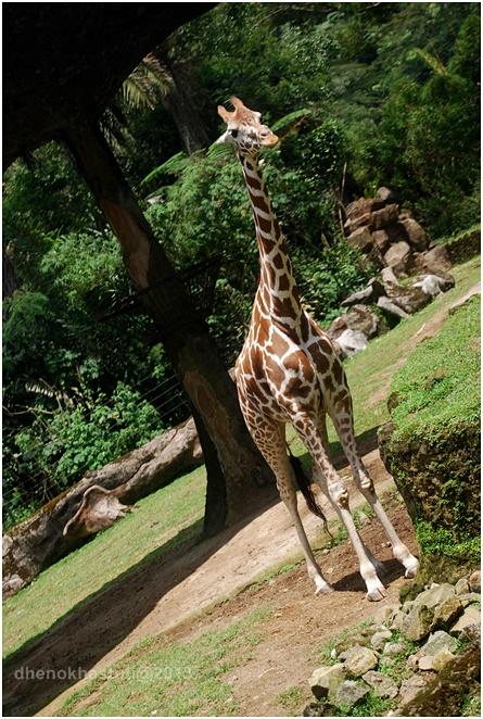 dhenok - taman safari - jerapah
