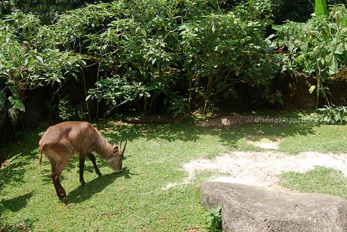 dhenok - taman safari - kambing hutan dan buaya