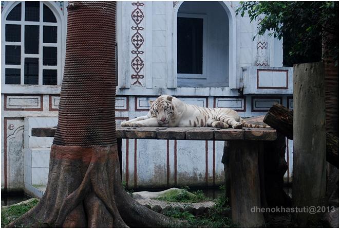 dhenok - taman safari - macan putih