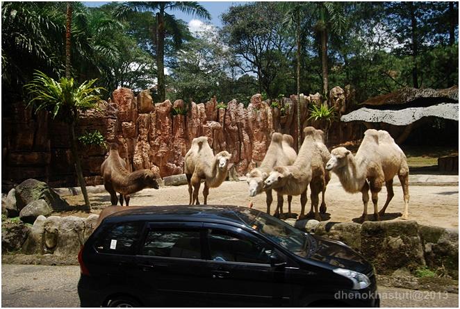 dhenok - taman safari - onta