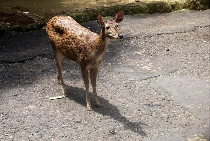 dhenok - taman safari - rusa