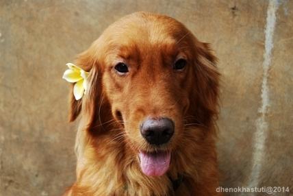 dhenok - anjing setu mocha