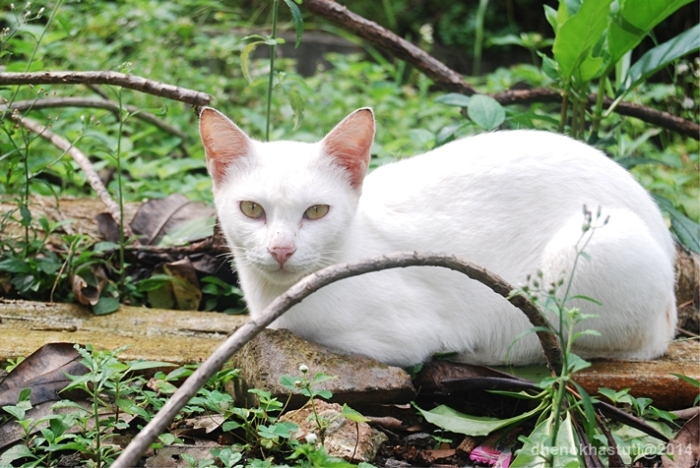 dhenok - kucing putih setu