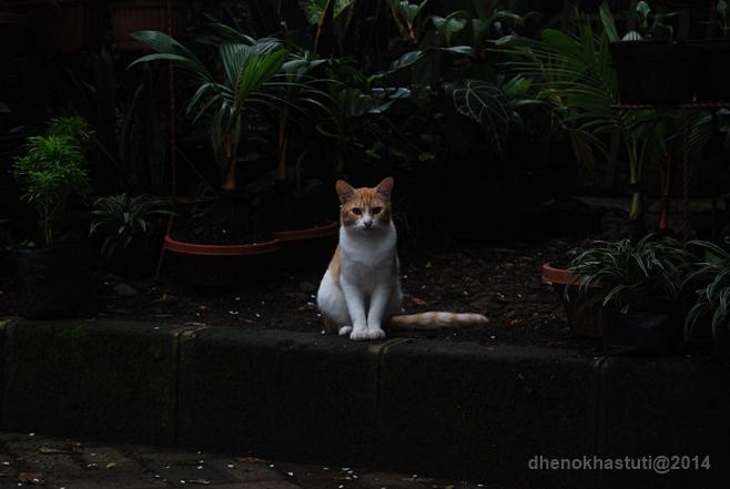 dhenok - kucing setu