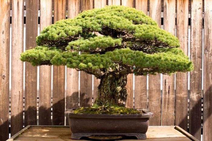 jlmc - bonsai tua jepang