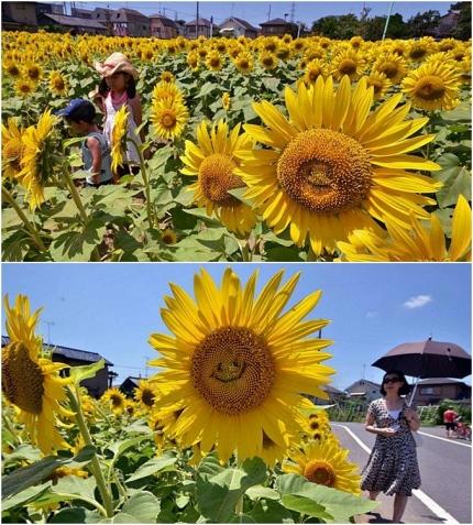 jlmc - bunga matahari tersenyum