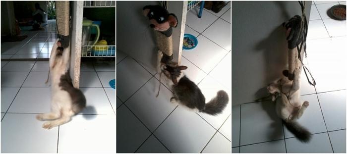 onin - onin maen tikus