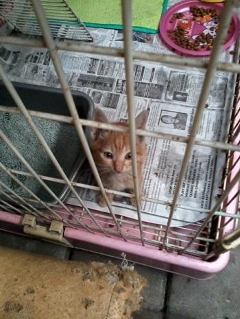 omara bayi kucing kuning 1